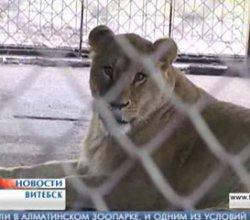 В Витебском зоопарке появился новый лев