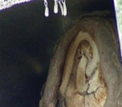В Беларуси на спиле дерева проявился облик богородицы