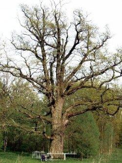 Загадки природы: 400-летний дуб с диаметром ствола в 2 метра растет вблизи Верхнедвинска