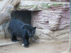 В Минском зоопарке новосел – черный ягуар