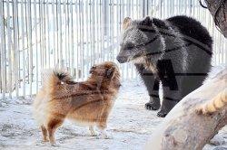 Медведь и собака дружно живут в одном вольере Центра экологического туризма «Станьково»