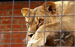 Львица напала на сотрудницу зоопарка в Гродно