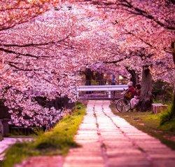 В Японии расцвела сакура