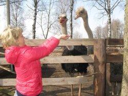 В агроусадьбе в деревне Рослые предлагают необычные сувениры – расписанные страусиные яйца