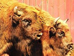 В Минском зоопарке 13 мая отметят День зубра