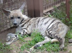 В Минском зоопарке появились белые тигры, гиены и тапир