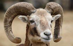 В Беларуси определена стоимость разрешения на добычу муфлона
