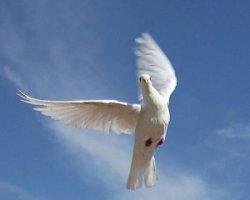 Голубей мира выпустят 3 июля в Центральном ботаническом саду Беларуси