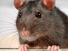 В лондонском музее ужасов открылось тематическое кафе с крысами