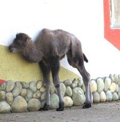 Минский зоопарк объявляет конкурс на лучшее имя для верблюжонка
