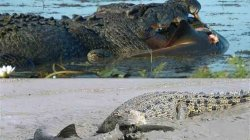 В Австралии туристы наблюдали поединок крокодила и акулы