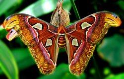 Гигантскую бабочку из Книги рекордов Гиннесса покажут в Молодечно
