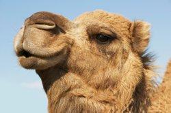 Виртуальный тур по пустыне Лива глазами верблюда