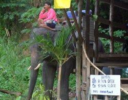 Пхукет против использования животных для развлечения туристов