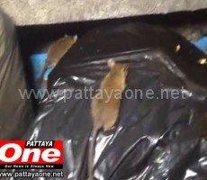 На пляж Паттайи напали тысячи крыс