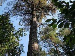 200-летняя сосна Бобруйского лесхоза объявлена памятником природы местного значения