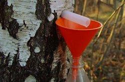 Белорусский березовый сок стал хитом сезона в США. Литр «березовой воды» продают за $45