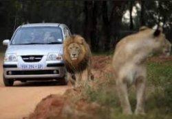 В национальном парке ЮАР туристку загрызли львы