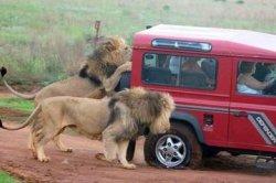 Нападение львов на туристку и туроператора: подробности от очевидцев