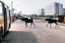 Мэр Риги Нил Ушаков предупредил горожан о появлении в городе двух агрессивных лосей