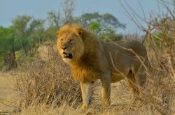 Американский стоматолог убил знаменитого льва Сесила из Зимбабве