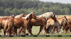На традиционном «Анненском кирмаше» в Зельве впервые будут торговать лошадьми