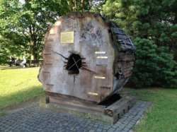 Гродненский блогер предложил недорогую идею парковой скульптуры из ствола 230-летнего ясеня в парке Жилибера