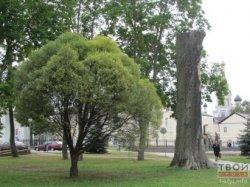 В Гродно решают судьбу ясеня в парке Жилибера и выбирают лучший скульптурный проект для старого дерева