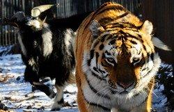 Китайским туристам предложат необычные туры в Россию — к тигру и козлу