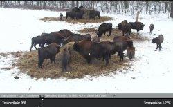 За зубрами в Беловежской пуще теперь можно наблюдать онлайн