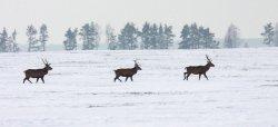 Беловежская пуща предлагает посмотреть на оленей за 20 евро