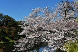 Цветение сакуры началось в Токио на пять дней раньше обычного