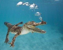 В США откроют лагуну для дайвинга с аллигаторами