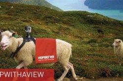 Норвегия выбрала в гиды по стране пять овец
