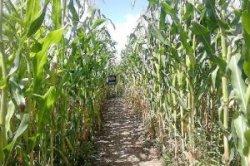 В Хорватии появился кукурузный лабиринт