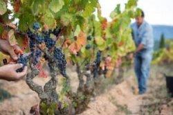 Испанская винодельня предлагает туристам тяжелую работу