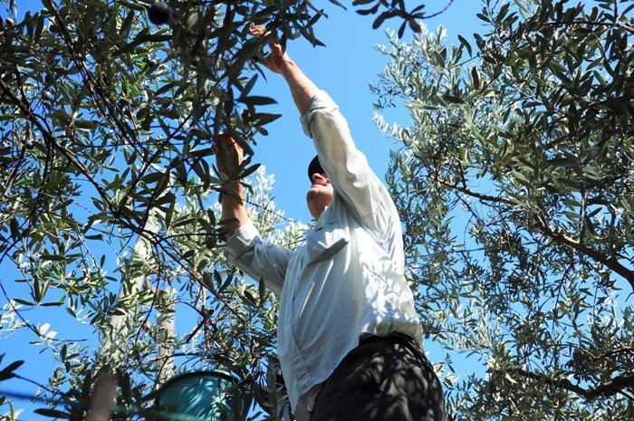 сбор оливок на Сицилии, Sapori tours, винные и гастрономические туры