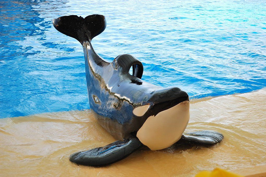 The-orcas-show-in-Loro-Parque-Tenerife-island-Spain_shutterstock_82084513.jpg